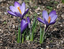 Image result for Crocus Flower