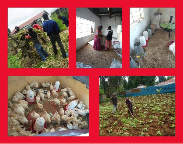 chicken and farming pictures