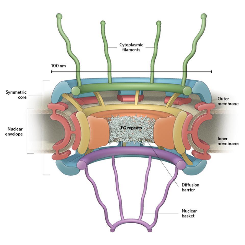 Nuclear pore complex