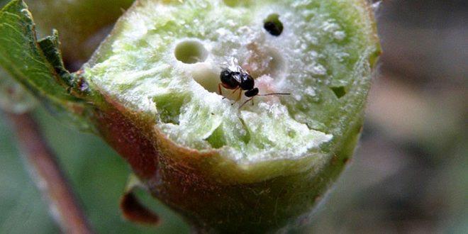 vespa-castanheiro-dryocosmus-kuriphilus-yasumatsu