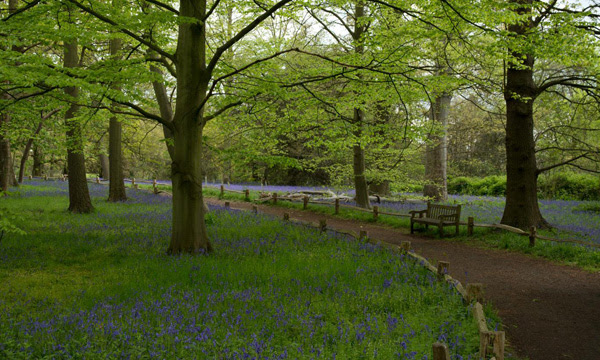 Image of bluebells in the Natural Area