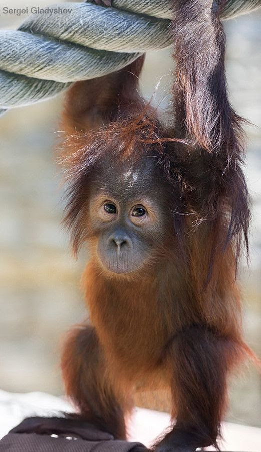 Baby orangutan: