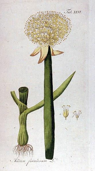 File:Allium fistulosum Ypey26.jpg