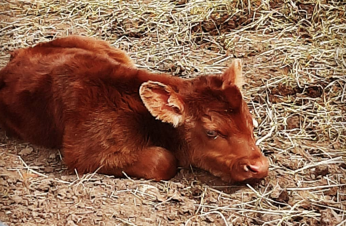 newborn brown calf in hay