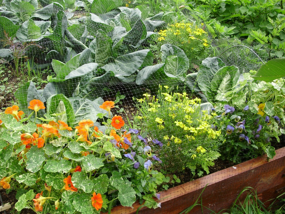 Flowers mixed with vegetables 'potager-style'. Brassica bed planted with nasturtium, tagetes and viola