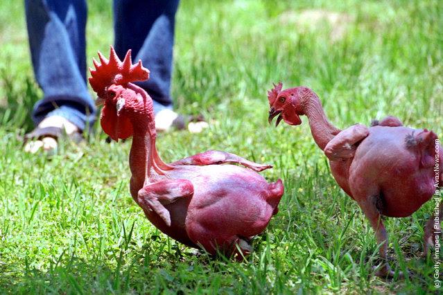 12 giống gà kỳ lạ nhất hành tinh - Ảnh 12.