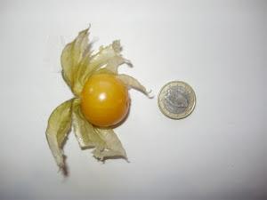 Cape gooseberry - a comparison with €1 coin