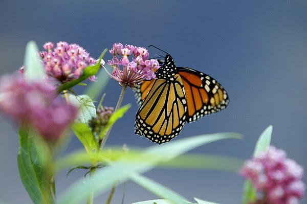 Monarch butterflies require milkweed to survive.