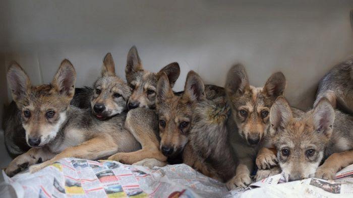 Les septs louveteaux du parc zoologique Los Coyotes