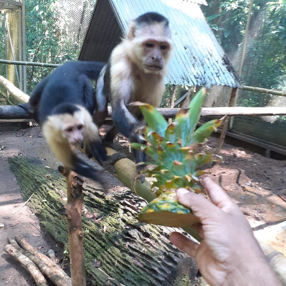 Two capuchins look to a pineapple head, one reaching for it.