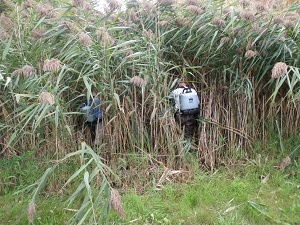 Two workers with backpack sprayers enter a dense patch of phragmites