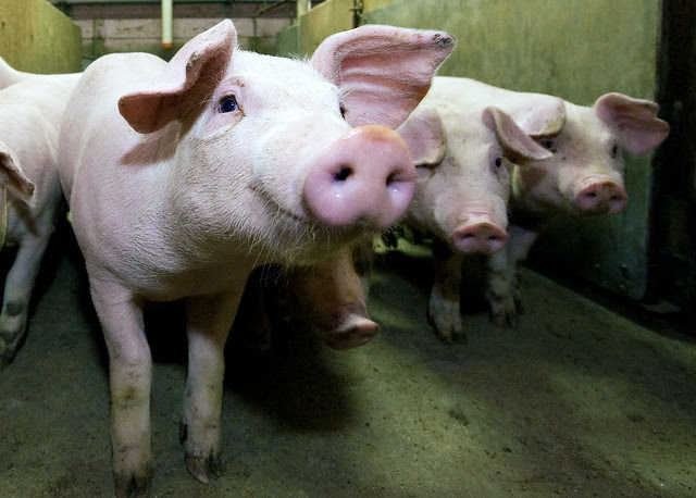 Alberta's hog producers work to maintain a healthy pork industry