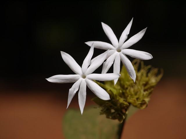 Jasminum multiflorum (Burm.f.) Andrews