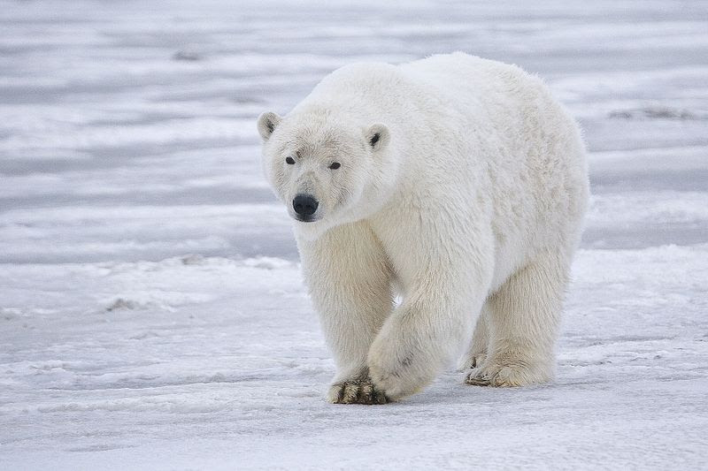 File:Polar Bear ANWR 3.jpg