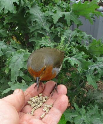 Robin having a little snack beside the Ragged Jack Kale!