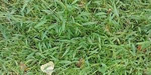 A patch of Japanese stiltgrass