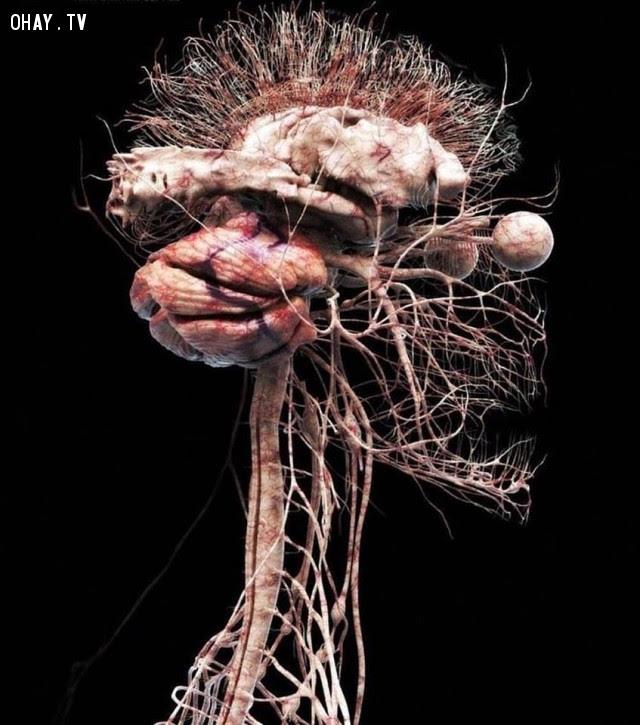 Hệ thống thần kinh ở dạng chi tiết,cơ thể con người