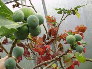 Accidental 'still life' - autumn colour in the polytunnel - figs and a grapevine intertwined