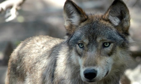 Grey wolves have been confirmed as far west as California and Oregon and as far east as Michigan
