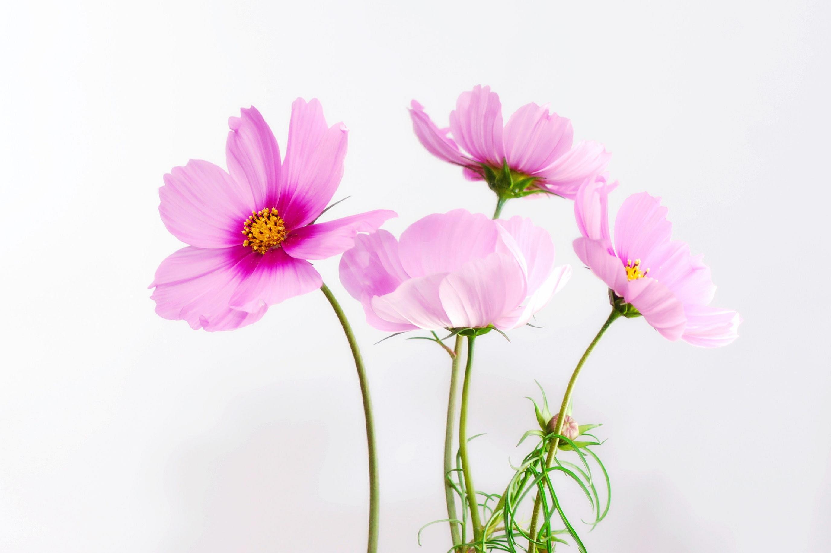 Sring pink flowers