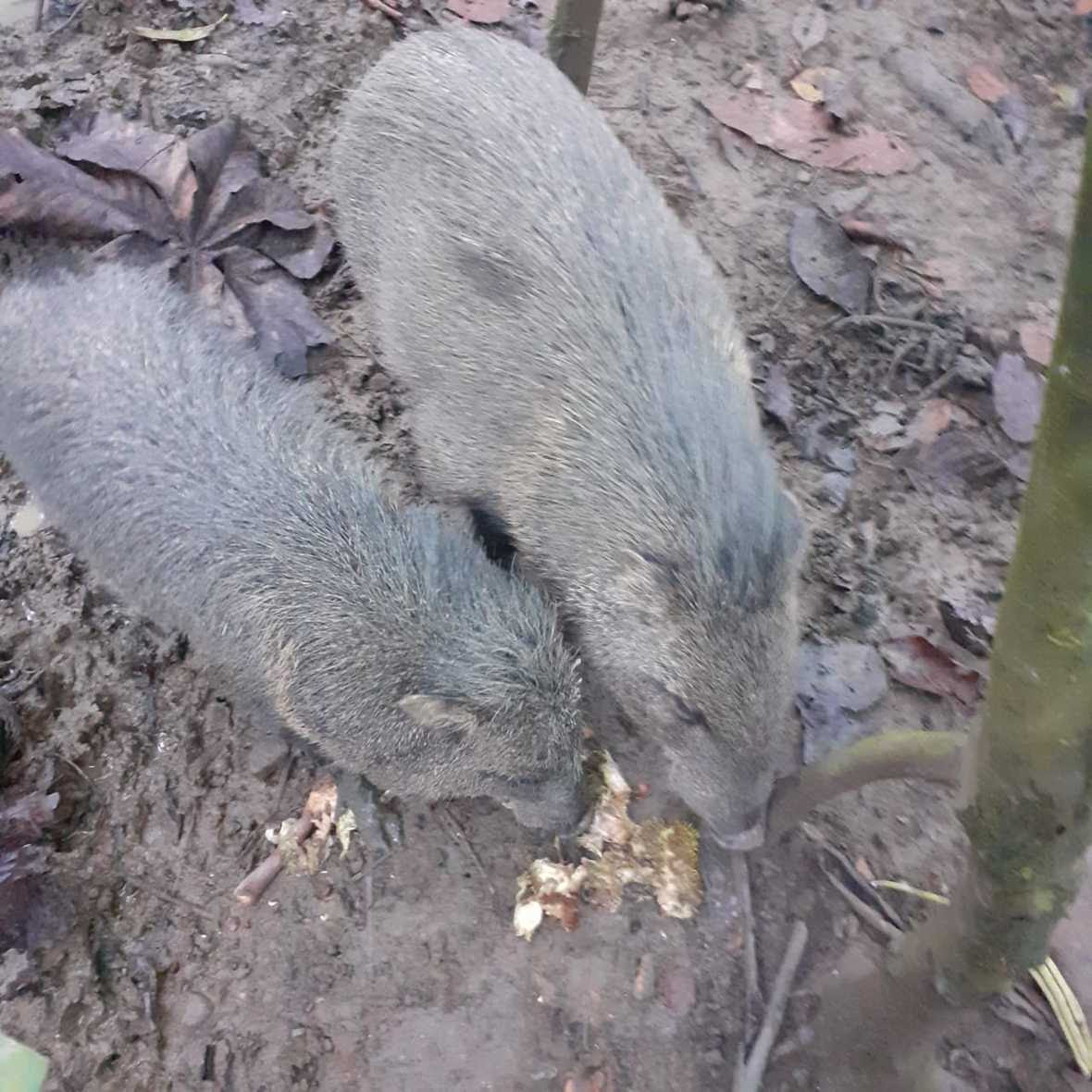 Two peccaries eating a castana fruit on the ground