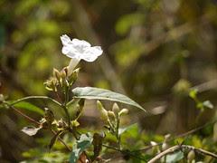 Merremia umbellata subsp. orientalis