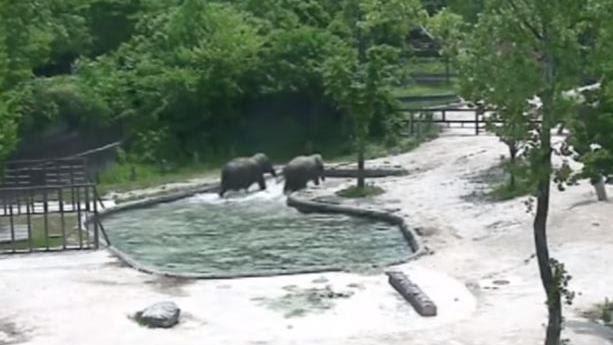 VIDEO. Un éléphanteau sauvé de la noyade par deux éléphants adultes dans un zoo de Corée du Sud
