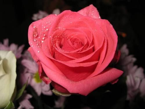 Rosas (Bara)
