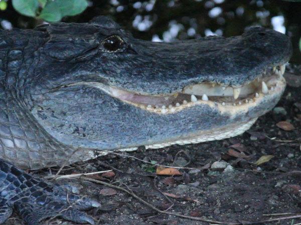 GatorMouth