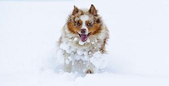 A dog running through deep snow