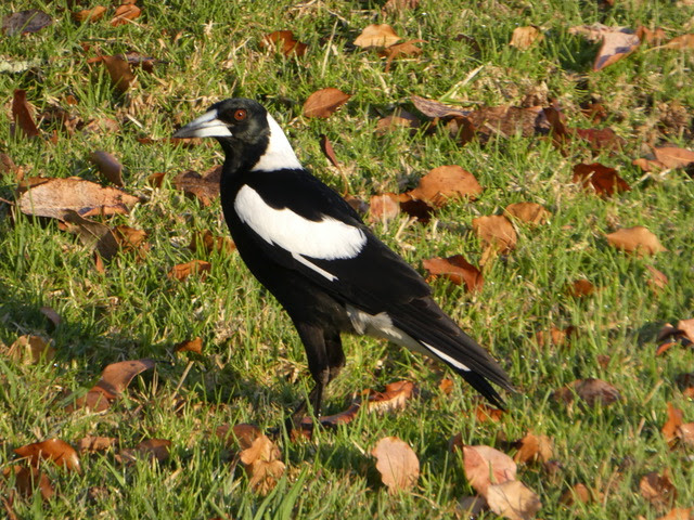 Magpies.jpeg