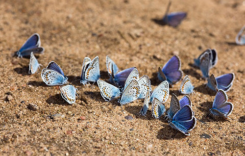 Group of blue butterflies
