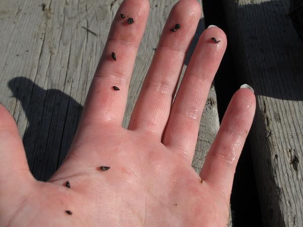 New Zealand Mudsnails