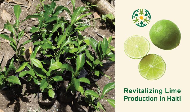Revitalizing Lime Production in Haiti