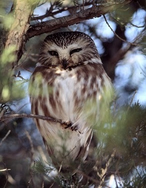 Northern Saw-whet Owl sitting in a conifer tree