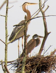 adult and immature great blue heron