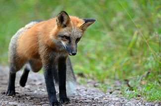 A red fox is shown walking along a forest road.