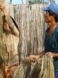 Image result for cây đay dệt vải