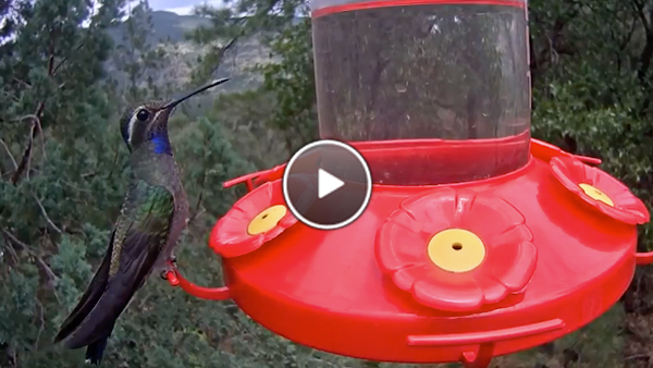 Watch a rare visit from a Blue-throated Hummingbird in West Texas.