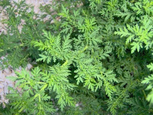 577de ajenjooartemisia2 - Plantas prohibidas que incomodan a las farmaceuticas