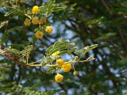 Acacia nilotica ssp. tomentosa