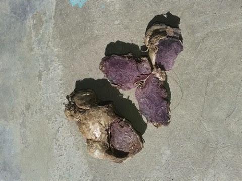 Black turmeric