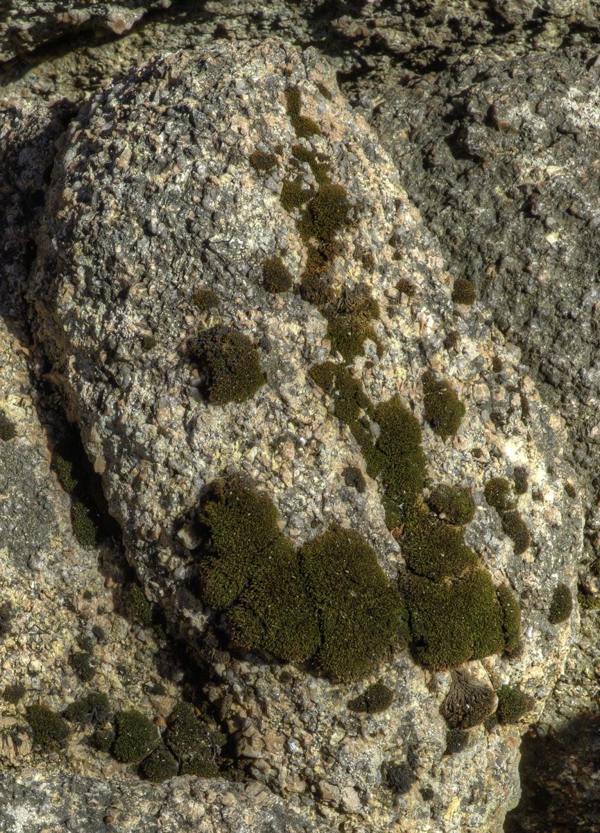 JenkinsWilliams Schistidium maritimum NE shore Great Wass 2 of 3