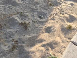Least Tern Nest next to sidewalk in Ft. Lauderdale