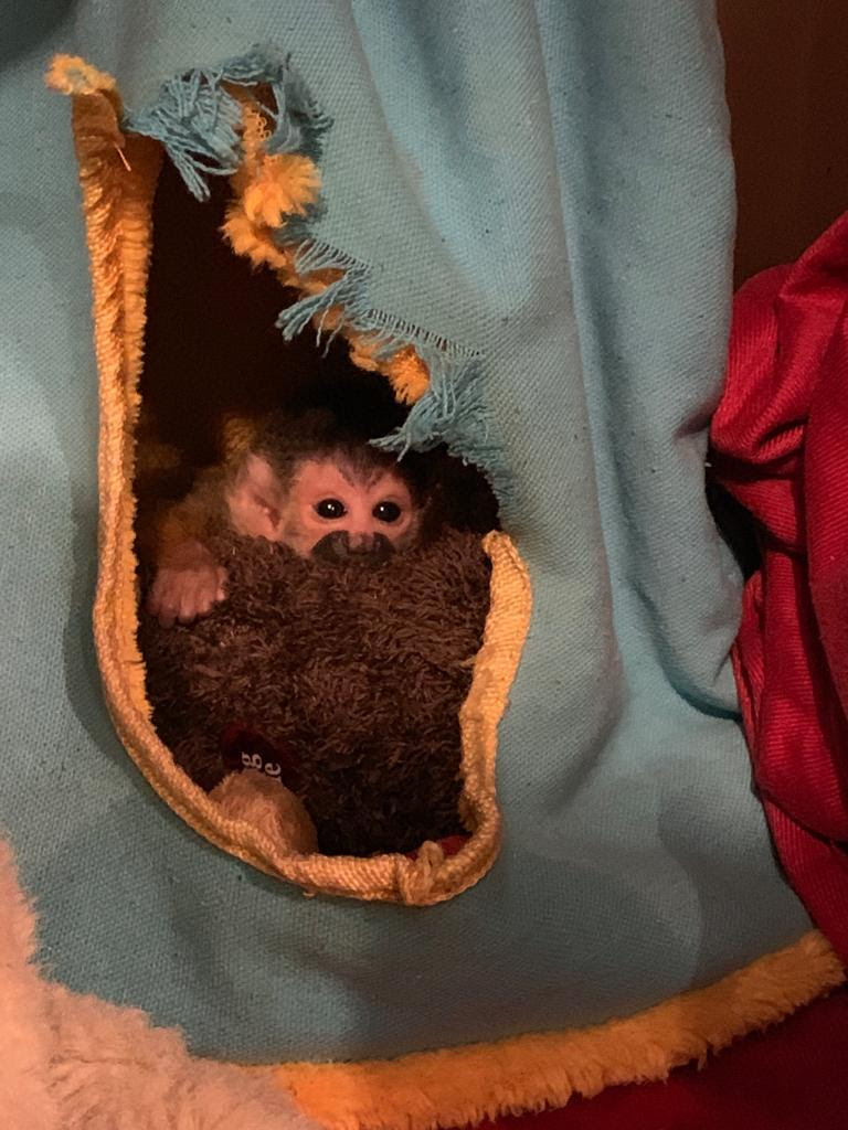 Baby squirrel monkey on stuffed animal peering out from cloth encasement