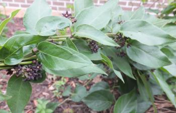 invasive swallowwort plant