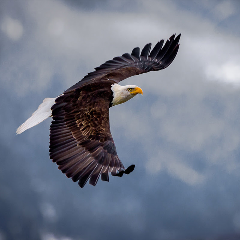 Bald Eagle. Photo: Don Berman/Audubon Photography Awards