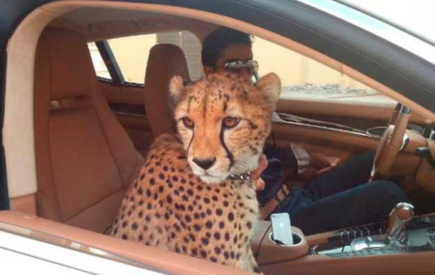 Người Dubai nuôi báo và sư tử thay chó mèo