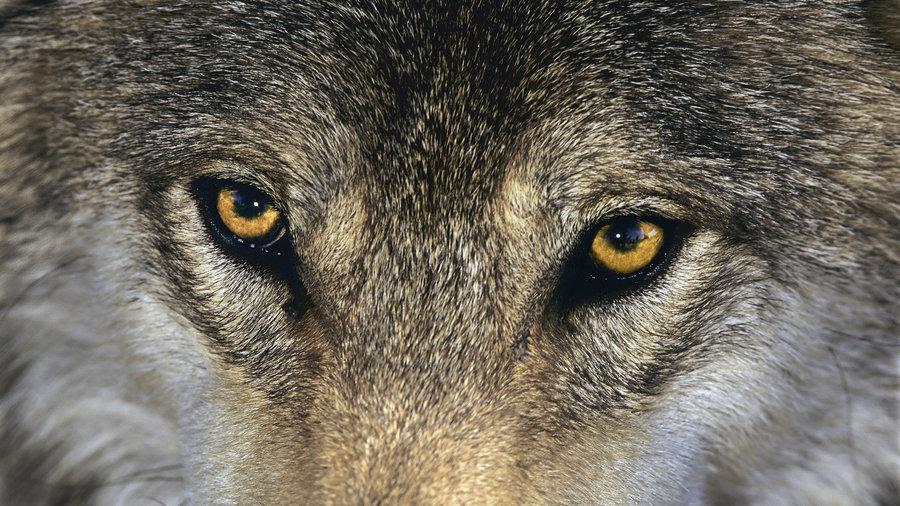 1-Wolf-eyes.jpg