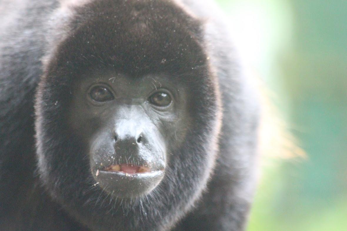 Congito, adult howler monkey